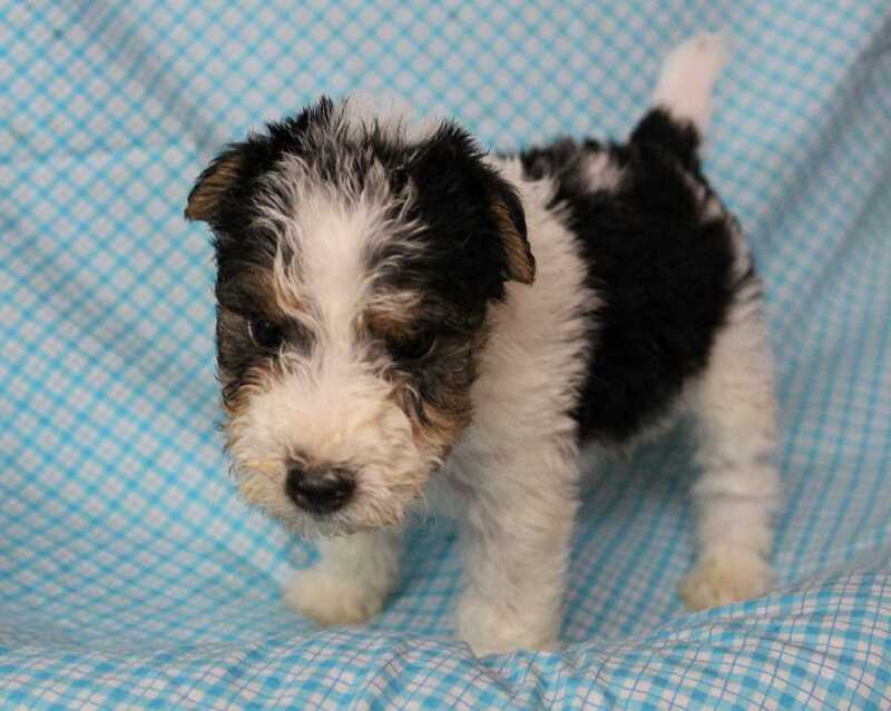 Kansas City Star | Classifieds | Dogs | NON SHED TERRIERS Lakeland ...