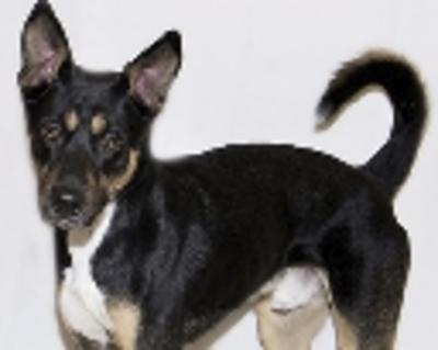 Ottawa Sun | Classifieds | Dogs | Rottweiler & Pitbull mix  5pup