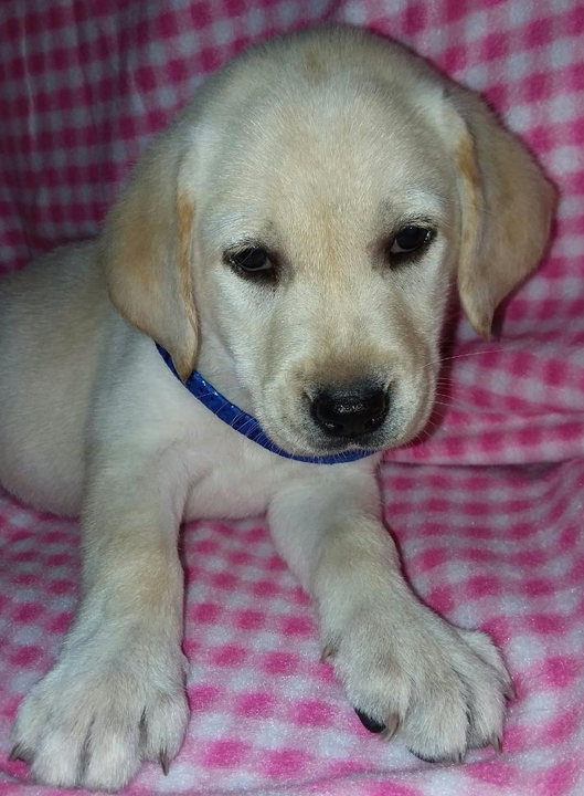 The Meadville Tribune | Classifieds | Pets | PUREBRED ENGLISH LAB
