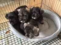 Calgary Herald | Classifieds | Pets | CKC Reg miniature schnauzers