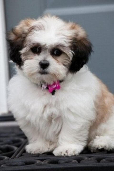 average life of a shih tzu seattle times classifieds pets shichon puppies 2768