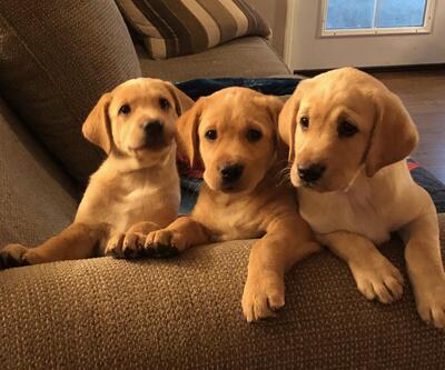 Tacoma News Tribune Classifieds Dogs